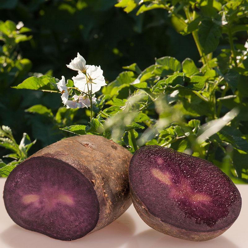 Purple Die Violette