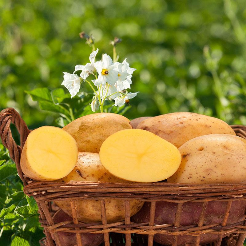 Reitberger Kartoffeln