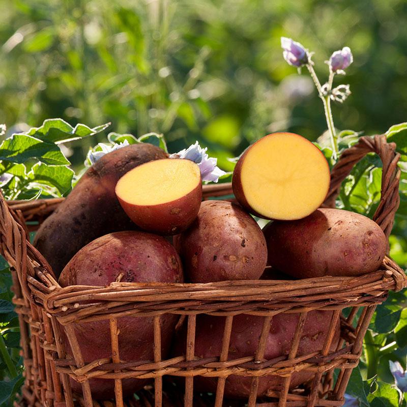 Kartoffeln Laura